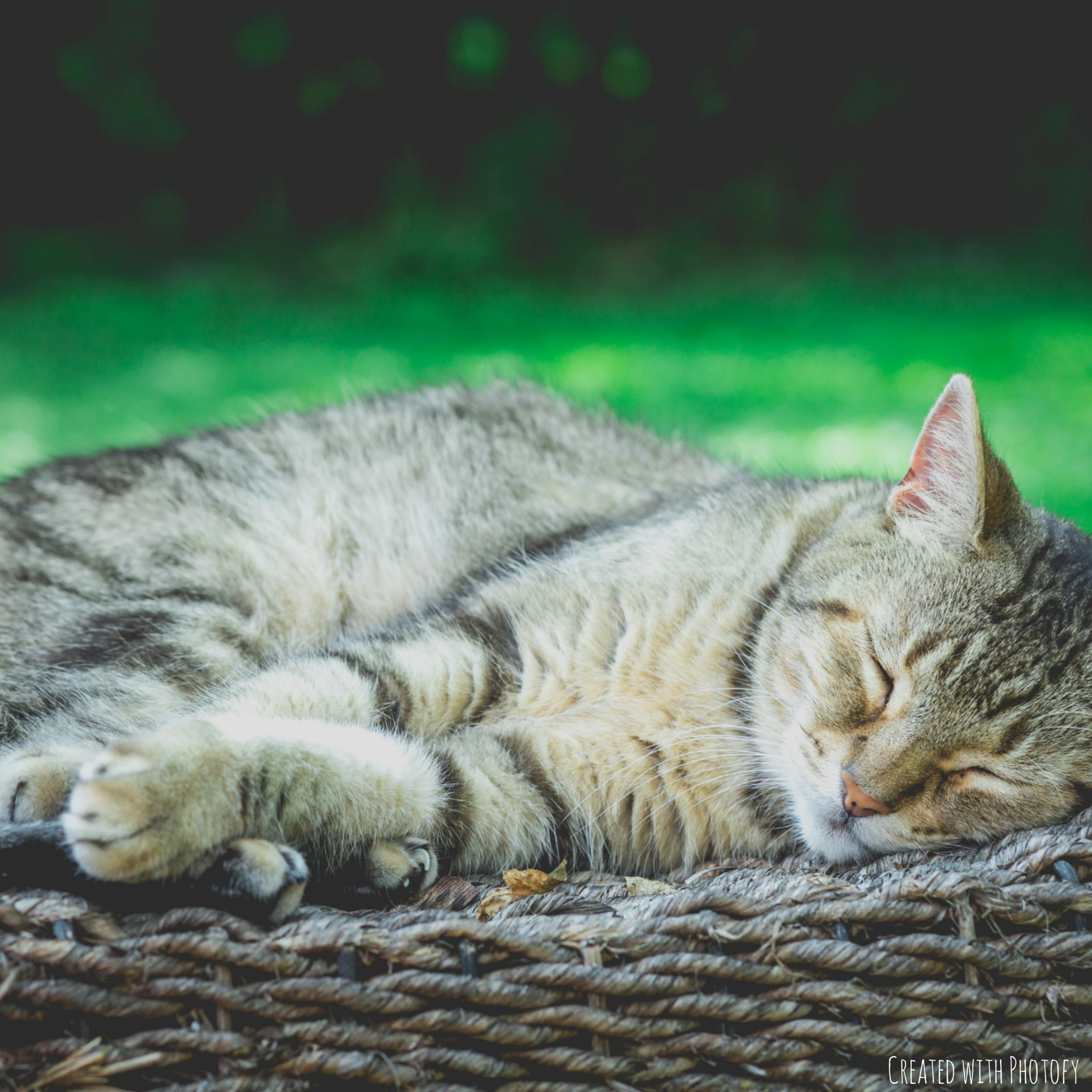 Brown tabby cat taking a nap.